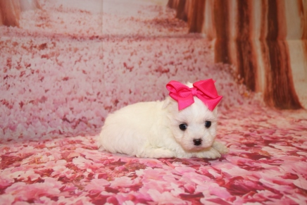 Lulu Female CKC Maltese $2000 Ready 1/28 HAS DEPOSIT MY NEW HOME JACKSONVILLE, FL 1 Lb 1 oz 5 Weeks Ol