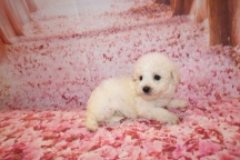Opal Female CKC Bichpoo $1750 Ready 1/18 HAS DEPOSIT MY NEW HOME PONTE VEDRA, FL 1LB 5 oz 6 Weeks OLD