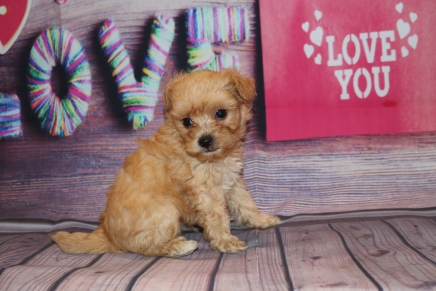 Peterbrooke Male CKC Morkipoo $2000 Ready 2/8 HAS DEPOSIT MY NEW HOME JACKSONVILLE, FL 1lb 4oz 5W5D Old