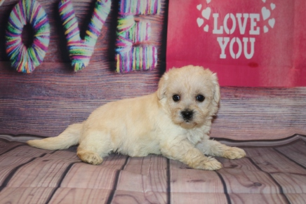 Sweetpea Female CKC Morkipoo $1750 Ready 2/12 HAS DEPOSIT! MY NEW HOME IS IN ST. AUGUSTINE, FL! 1Lb 11.8 oz 5W2D Old