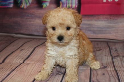 Truffles Female CKC Morkipoo $2000 Ready 2/8 SOLD MY NEW HOME JACKSONVILLE, FL! 1 Lb 6.7 oz 5W5D old