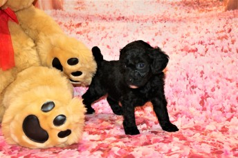 Valentine Male CKC Mini Labradoodle $2000 Ready 2/6 SOLD MY NEW HOME ST JOHNS, FL 1 Lb 8 oz 5 Weeks old