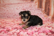 Belle Female CKC Morkie $1750 Ready 1/28 HAS DEPOSIT MY NEW HOME JACKSONVILLE, FL 6 oz 4W5D OLD