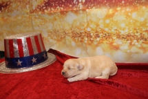 Buttercup Female CKC Morkipoo $1750 Ready 2/12 AVAILABLE 15 oz 2W2D Old