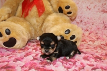 Cha Cha Female CKC Havashire a/k/a Yorkinese $2000 Ready 2/20 HAS DEPOSIT MY NEW HOME JACKSONVILLE, FL 10.1 OZ 2W5D OLD