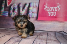 Chloe (Belle) Female CKC Yorkie $2000 Ready 1/24 HAS DEPOSIT MY NEW HOME JACKSONVILLE, FL 10.15oz 8w old
