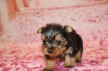 Chloe (Belle) Female CKC Yorkie $2000 Ready 1/24 HAS DEPOSIT MY NEW HOME JACKSONVILLE, FL 10.5 OZ 5W4D old