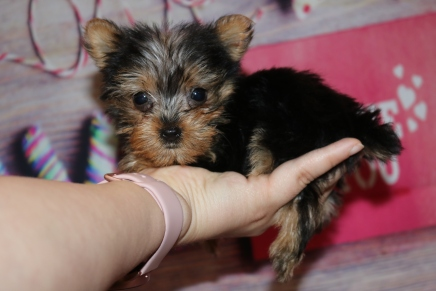 Coco Female CKC Yorkie $1750 Ready 1/24 HAS DEPOSIT MY NEW HOME TITUSVILLE, FL 14oz 8W Old
