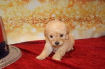 Cookie Female CKC Mini Labradoodle $2000 Ready 1/25 HAS DEPOSIT MY NEW HOME Miller Place, NY 11 oz 3w6d old
