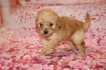 Cupcake (Lizzy) CKC Mini Labradoodle $2000 Ready 1/25 SOLD MY NEW HOME JACKSONVILLE, FL 1 Lb 4.1 oz 5W3D Old