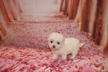 Daisey Duke Female CKC Maltipoo $1750 Ready 1/18 SOLD MY NEW HOME SEABROOK ISLAND, SC 8 oz 6W2D Old