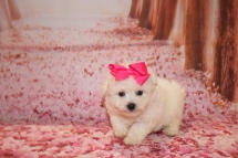 Diamond Female CKC Bichpoo $1750 Ready 1/18 HAS DEPOSIT MY NEW HOME ORANGE PARK, FL 1LB 5OZ 6 Weeks OLD