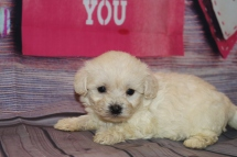 Diva (Roxy) Female CKC Morkipoo $1750 Ready 2/12 HAS DEPOSIT MY NEW HOME ORLANDO, FL 1lb 1.5oz 5W2D Old