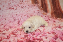Diva (Roxy) Female CKC Morkipoo $1750 Ready 2/12 HAS DEPOSIT MY NEW HOME ORLANDO, FL 14.4 oz 3 Weeks ol