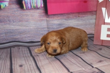 HaHa Female CKC Schnoodle $2000 Ready 3/5 AVAILABLE 1 Lb 9 oz 2 Weeks old