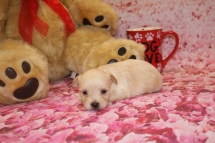 Juliet Female CKC Yorkipoo $1750 Ready 2/11 AVAILABLE 12 oz 13.7 oz 3 Weeks Old
