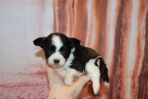 Kisses Female Miki $2000 Ready Feb 6 AVAILABLE 15.3 oz 4W4D Old