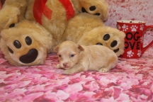 Lancelot Male CKC Yorkipoo $2000 Ready 2/11 HAS DEPOSIT MY NEW HOME PALM HARBOR, FL 13.7 oz 3 Weeks Old