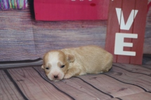 Lexus Female CKC Shihpoo $1750 Ready 3/6 AVAILABLE 8.7oz 1W5D Old