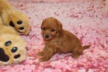 Love Female CKC Mini Labradoodle $2000 Ready 2/6 SOLD MY NEW HOME PONTE VEDRA, FL 1 Lb 4.5 oz 5 Weeks old