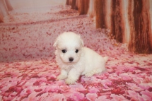 Luca Male CKC Maltese $1750 Ready 1/28 HAS DEPOSIT MY NEW HOME IS ST AUGUSTINE, FL 1 Lb 1 oz 5 Weeks old Old