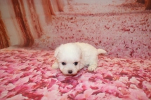 Lucy Female CKC Maltese $2000 Ready 1/28 HAS DEPOSIT MY NEW HOME JACKSONVILLE, FL 1 Lb 5 Weeks old