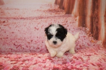 Luke Duke Male CKC Maltipoo $1750 Ready 1/18 SOLD MY NEW HOME PONTE VEDRA, FL 1 Lb 3 oz 6W2D Old