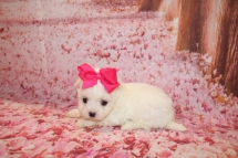 Lulu Female CKC Maltese $2000 Ready 1/28 HAS DEPOSIT MY NEW HOME JACKSONVILLE, FL 1 Lb 1 oz 5 Weeks Old