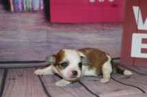 Mercedes Female CKC Shihpoo $2000 Ready 3/6 AVAILABLE 7.1oz 1W5D Old