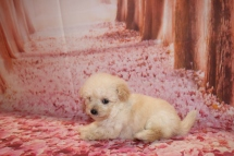 Pearl Female CKC Bichpoo $1750 Ready 1/18 HAS DEPOSIT MY NEW HOME PONTE VEDRA, FL 15.4 OZ 6 Weeks OLD