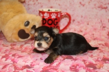 Romeo Male CKC Yorkipoo $2000 Ready 2/11 HAS DEPOSIT MY NEW HOME EXTON, PA 10 oz 13.7 oz 3 Weeks Old