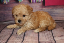 Truffles Female CKC Morkipoo $2000 Ready 2/8 SOLD! 1 Lb 6.7 oz 5W5D old
