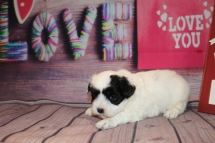 Winter Female CKC Maltipoo $1750 Ready 2/26 HAS DEPOSIT MY NEW HOME IS WAYNESVILLE, NC 1 LB 15.5 oz 3W1D Old