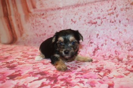 Ariel Female CKC Morkie HAS DEPOSIT MY NEW HOME WINTER SPRINGS, FL 2 oz 4W5D OLD