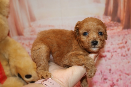 Cutie Patootie (Ruka) Female CKC Mini Labradoodle $2000 Ready 2/6 SOLD MY NEW HOME JACKSONVILLE, FL 1 Lb 4.5 oz 5 Weeks old