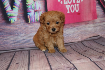 Dae Dae Female CKC Maltipoo $2000 Ready 2/15 SOLD MY NEW HOME 1 lb 2.9 oz 4W5D OLD