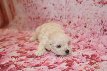 Diva (Roxy) Female CKC Morkipoo $1750 Ready 2/12 HAS DEPOSIT MY NEW HOME ORLANDO, FL 14.4 oz 3 Weeks old Old