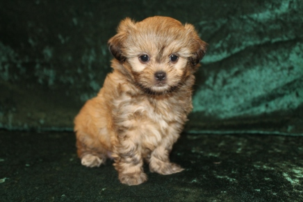 Roxanne Female CKC Shihpoo $1750 Ready 2/25 H2 lbs SOLD MY NEW HOME ORLANDO, FL 6 Weeks Old