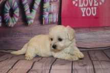 Sweetpea Female CKC Morkipoo $1750 Ready 2/12 AVAILABLE 1Lb 11.8 oz 5W2D Old