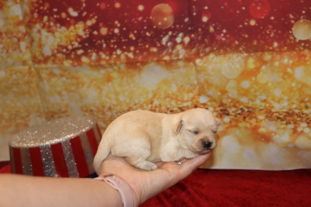 Sweetpea Female CKC Morkipoo $1750 Ready 2/12 AVAILABLE 13.5 oz 2W2D Old
