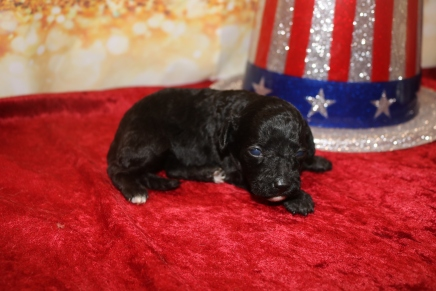 Valentine Female CKC Mini Labradoodle $2000 Ready 2/6 HAS DEPOSIT! MY NEW HOME IS IN ST JOHNS, FL! 12.5 oz 2W4D Old