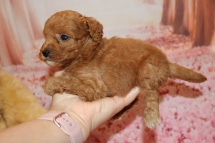 utie Patootie (Ruka) Female CKC Mini Labradoodle $2000 Ready 2/6 SOLD MY NEW HOME JACKSONVILLE, FL 1 Lb 3.5 oz 5 Weeks old