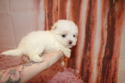 Daisey Duke Female CKC Maltipoo $2000 Ready 1/18 HAS DEPOSIT MY NEW HOME SEABROOK ISLAND, SC 8 oz 6W2D Old