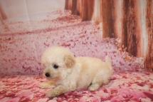 Jasper Male CKC Bichpoo $1750 Ready 1/20 HAS DEPOSIT MY NEW HOME JACKSONVILLE, FL 15.2 oz 6 Weeks old