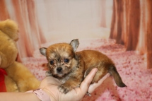 Pookie Male Miki $2000 Ready Feb 4 AVAILABLE 14 oz 5 Weeks Old