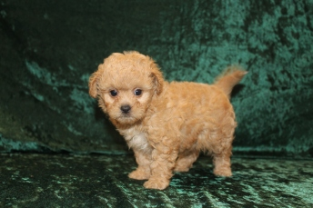 Roxy Female CKC Shihpoo $2000 Ready 2/25 SOLD MY NEW HOME ORMOND BEACH, FL 2 lbs 0.5 oz 6 Weeks Old