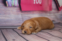 Teehee Female CKC Schnoodle $2000 Ready 3/5 AVAILABLE 1 Lb 2.7 oz 2 Weeks old
