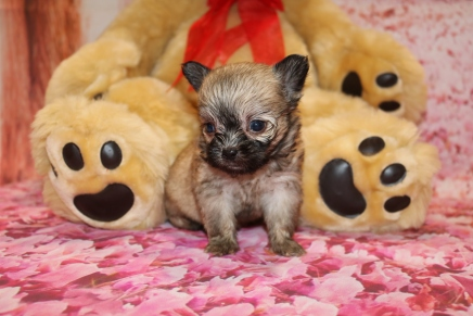 Cutie Male Miki $2000 Ready Feb 4 AVAILABLE 14.1 oz 5 Weeks Old