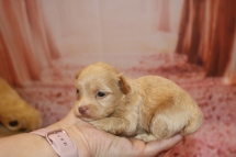 Lancelot Male CKC Yorkipoo $2000 Ready 2/11 AVAILABLE 13.7 oz 3 Weeks Old