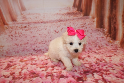 Opal Female CKC Bichpoo $1750 Ready 1/18 HAS DEPOSIT MY NEW HOME PONTE VEDRA, FL 1LB 5 oz Z 6 Weeks OLD